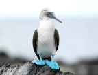 Blue-Footed-Booby-Puerto-Vallarta-Bucerias