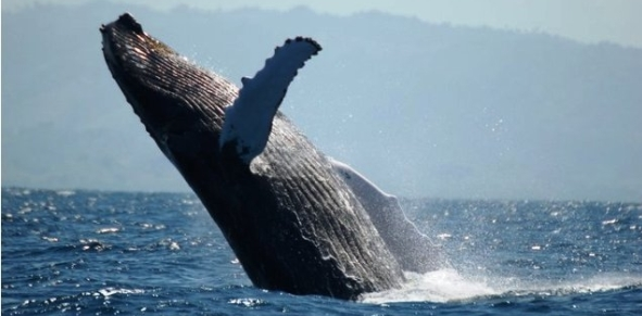 Humpback_Whale_Watching_Puerto_Vallarta