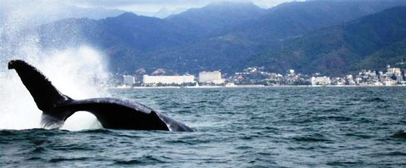 Humpback_Whale_Watching_Puerto_Vallarta_Mexico